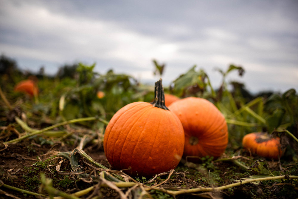 Norz Hill Farm Pumpkin Picking