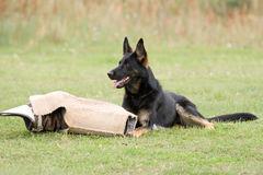 german-shepherd-10744443.jpg