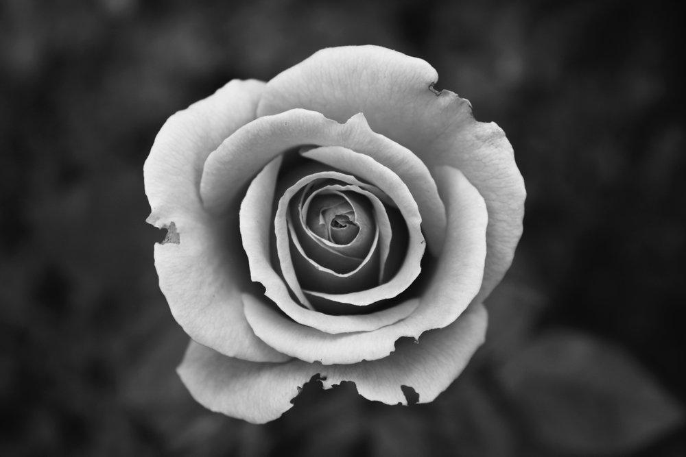 black-and-white-bloom-blossom-57905.jpg
