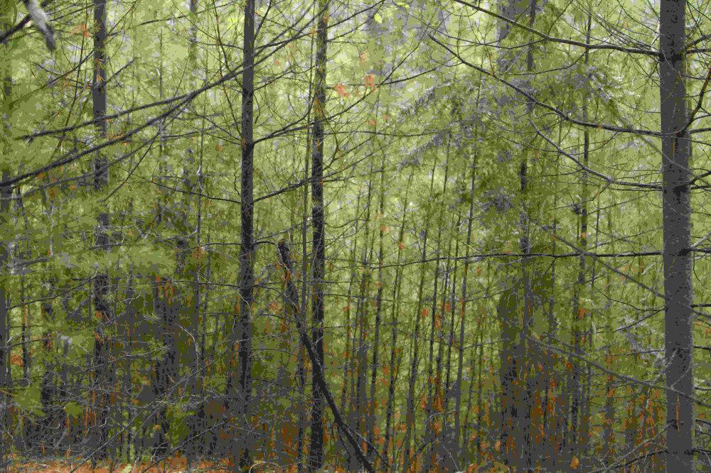 Western Mass trees
