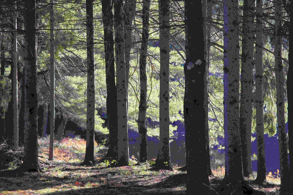 Trees Western Mass
