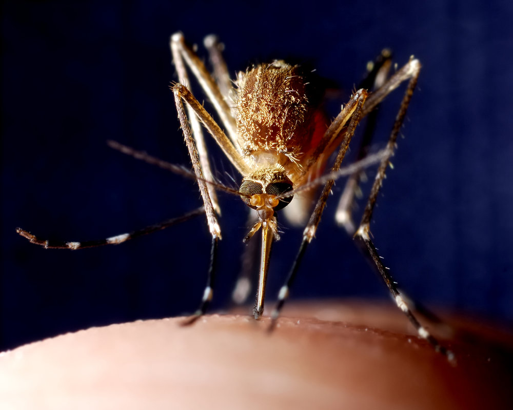 Mosquito getting ready to bite