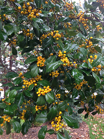 American yellow-berried holly