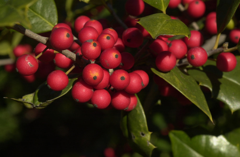 American red-berried holly