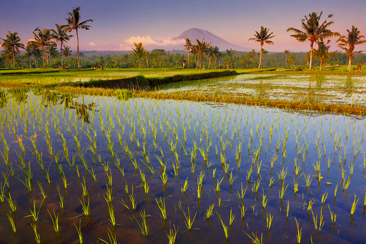 Bali-Rice-field-shoots-and-volcano-PS14-copy2.jpg