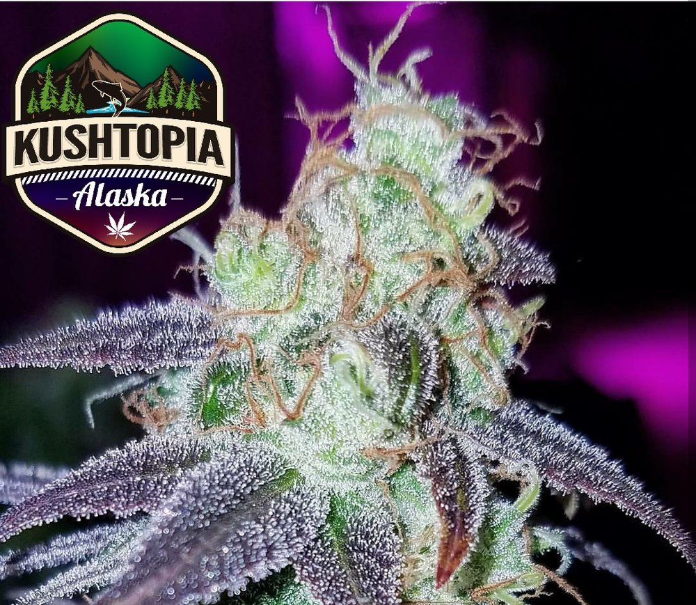 Qleaner - Jack's Cleaner X QuerkleThe Qleanest Qleaner, Qleaner from TGA is supposed to turn purple in the right conditions and those conditions exist here at KushTopia, Alaska. Smells like your favorite Qleaner product, great sativa high that will have you coming back for more.