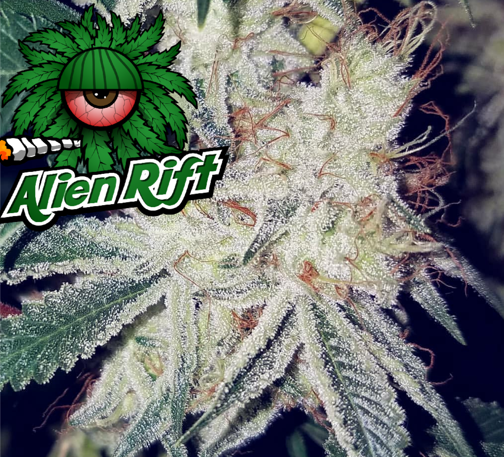 Alien Rift - Alien Rift is an 'enhanced' Alien Abduction phenotype, specifically selected and back-crossed for increased hash production. You can expect pungent 'lemon and spice' flowers densely covered in trichomes.THC 19-20%+