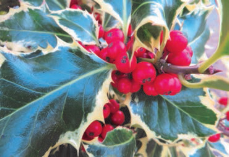 Ilex aquifolium  'Argentea Marginata' and its juicy red berries  (Gillian Goodson Designs)