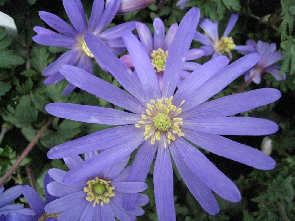 The spring-flowering  Anemone blanda (Gillian Goodson Designs)