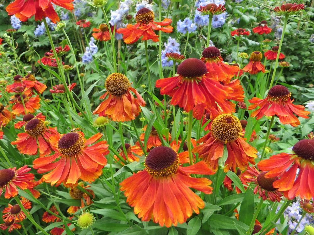 Attractive to bees and butterflies, vibrant  Helenium 'Moerheim Beauty'(Gillian Goodson Designs)