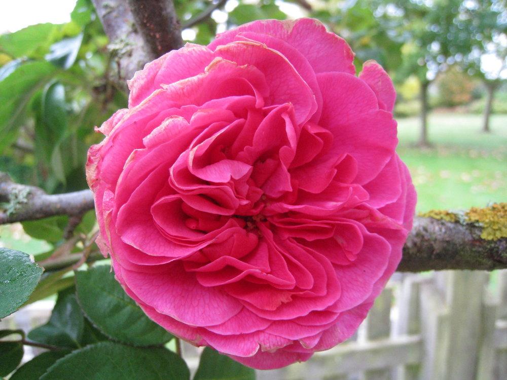 Late-summer colour:  Rosa Gertrude Jekyll   (Gillian Goodson Designs)