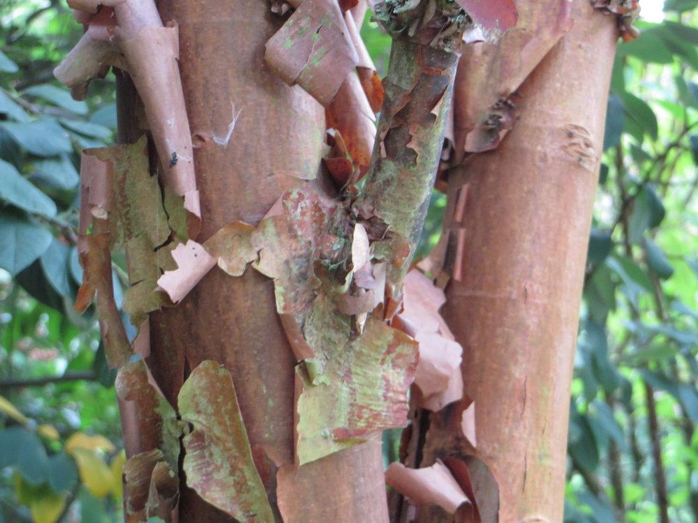 The paperbark maple tree:  Acer griseum (Gillian Goodson Designs)