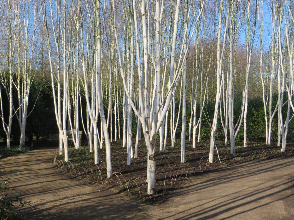 Grove of  Betula utilis  var.  jacquemontii  at Anglesey Abbey  (Gillian Goodson Designs)