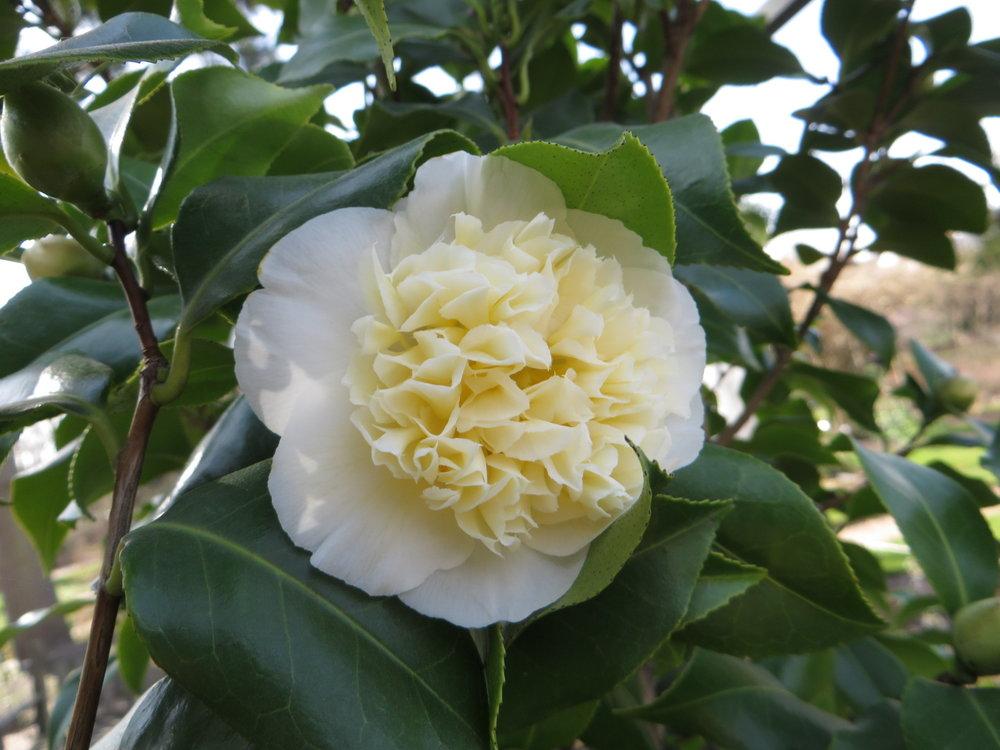 Camellia japonica  'Alba Plena' (Gillian Goodson Designs)