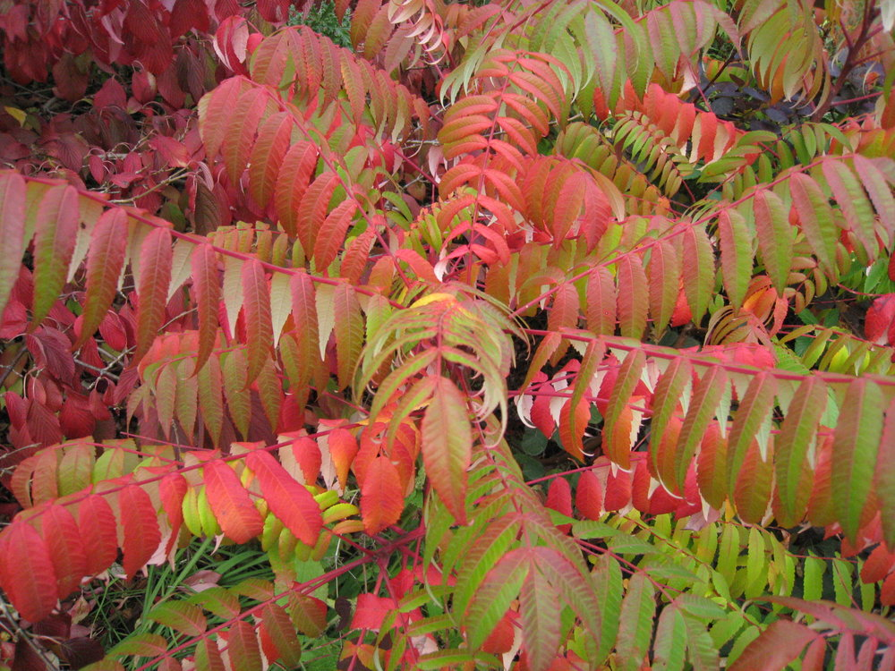 Head-turning orange-red of  Rhus typhina   (Gillian Goodson Designs)
