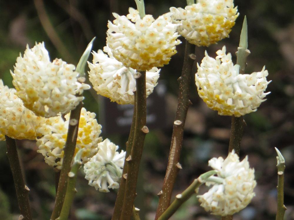Highly fragrant  Edgeworthia chrysantha  'Grandiflora' (Gillian Goodson Designs)