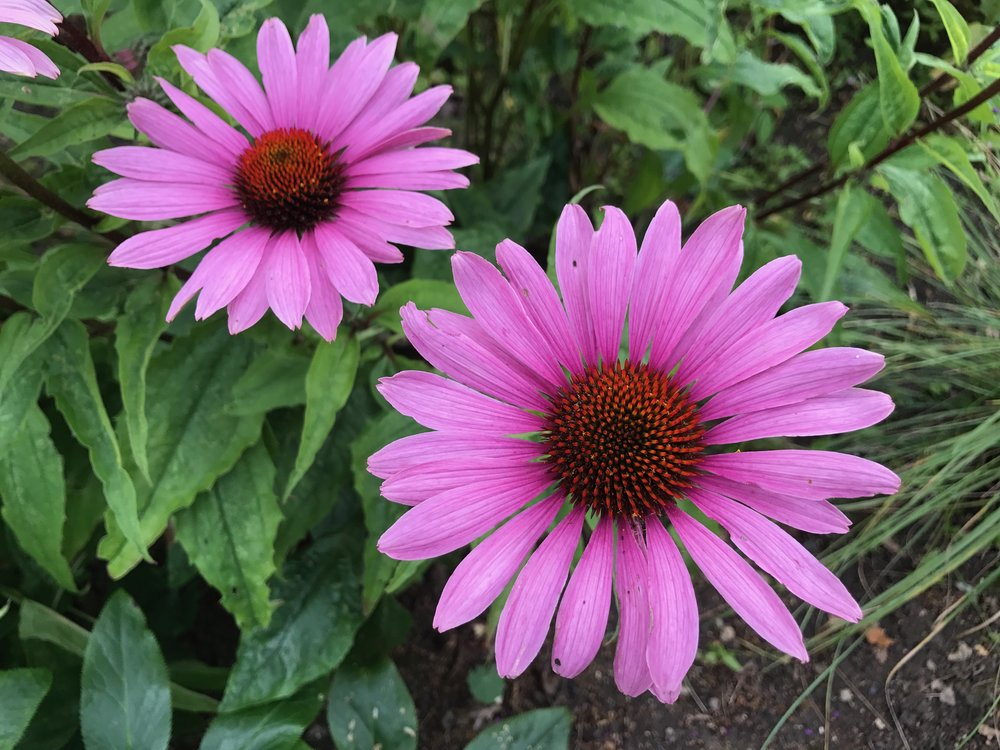 Echinacea purpurea 'Magnus'  – late flowering cornflower  (Gillian Goodson Designs)