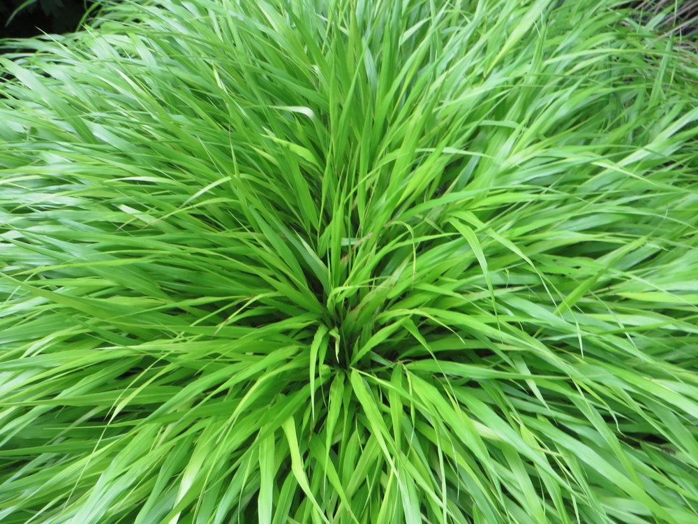 Green mound of  Hakonechloa macra (Gillian Goodson Designs)