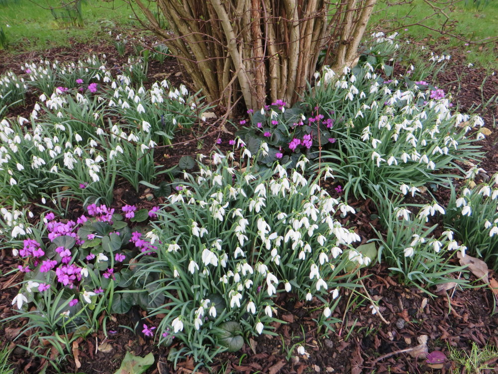 Snowdrops and cyclamens for spring colour  (Gillian Goodson Designs)