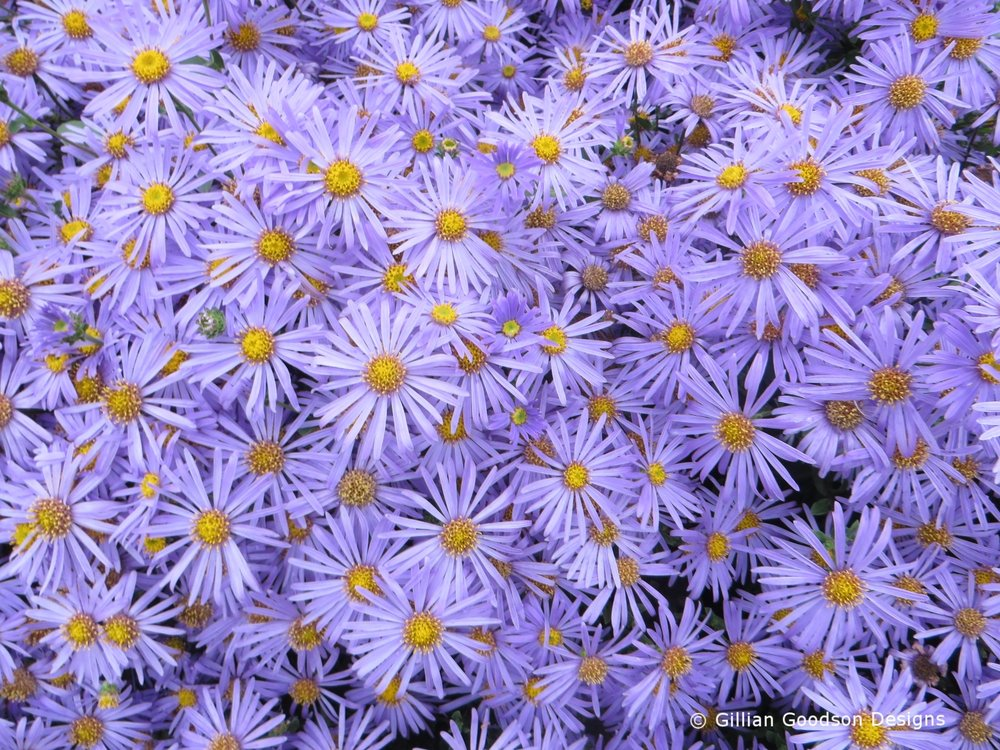 Aster amellus 'King George' – daisy-like, lilac-coloured flowers (Gillian Goodson Designs)