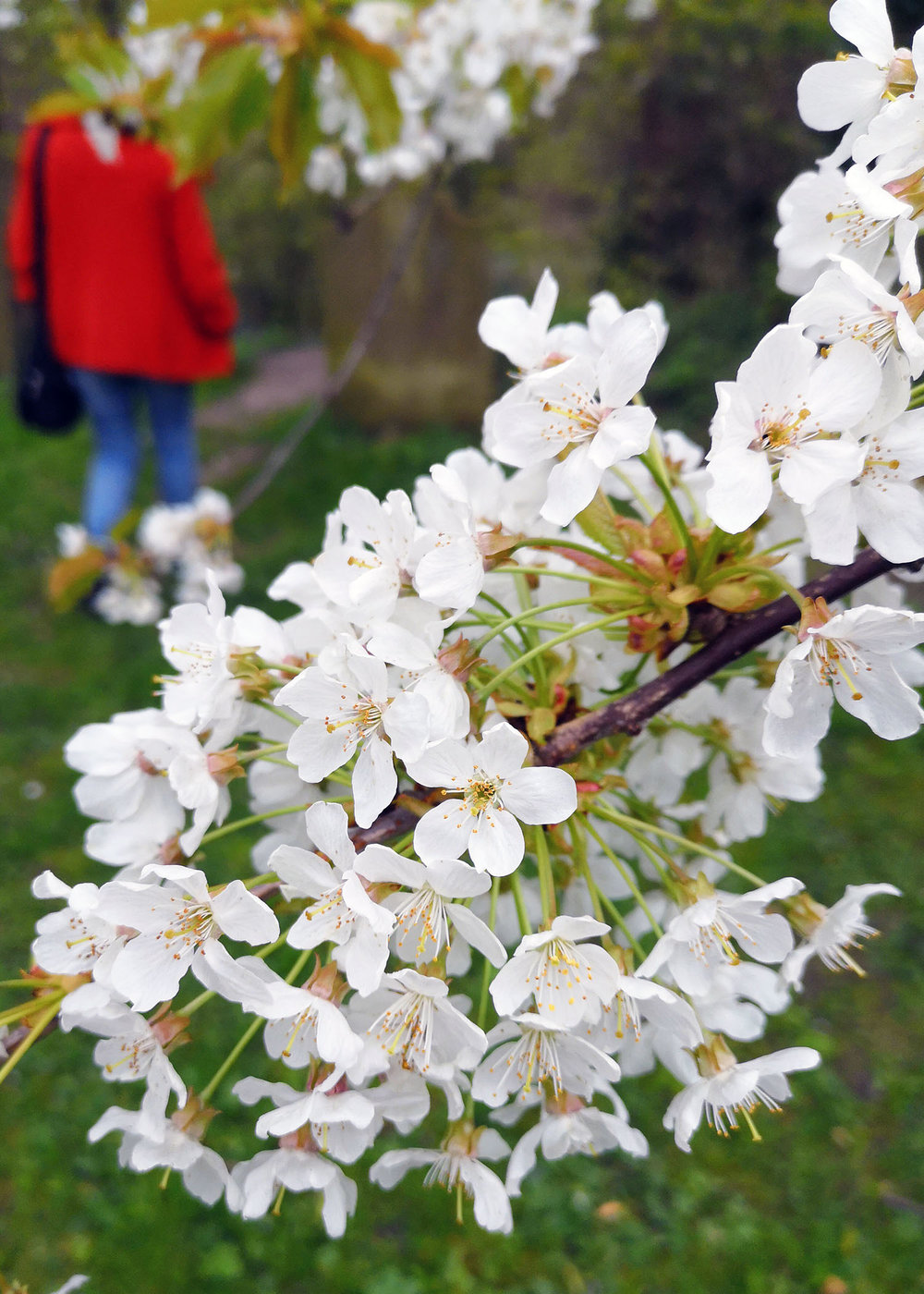 Bern and blossom.jpg
