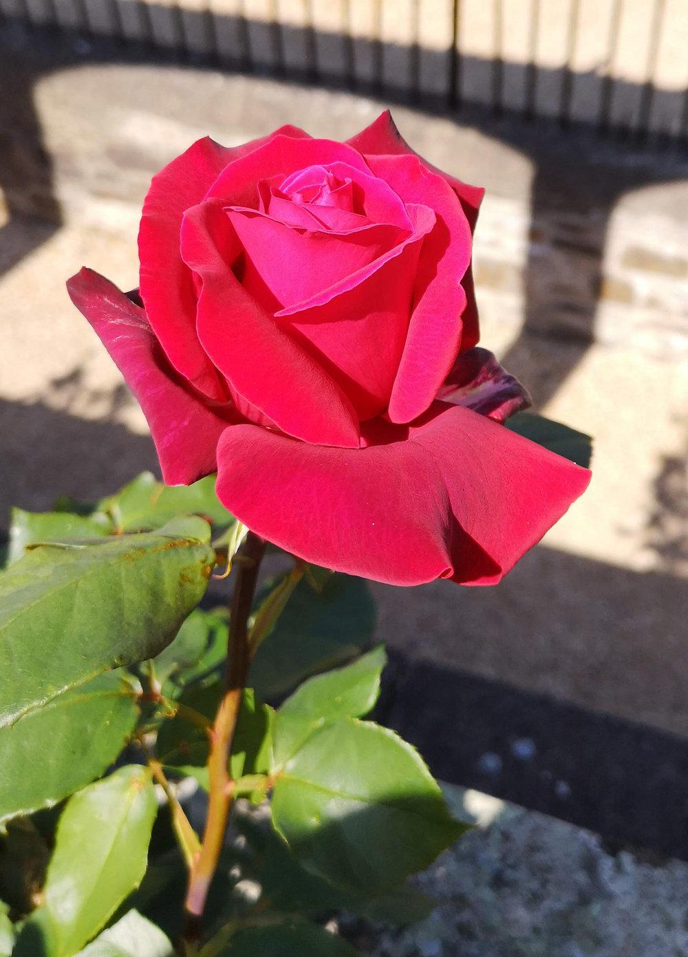 Abbotsford gardens magenta rose.jpg