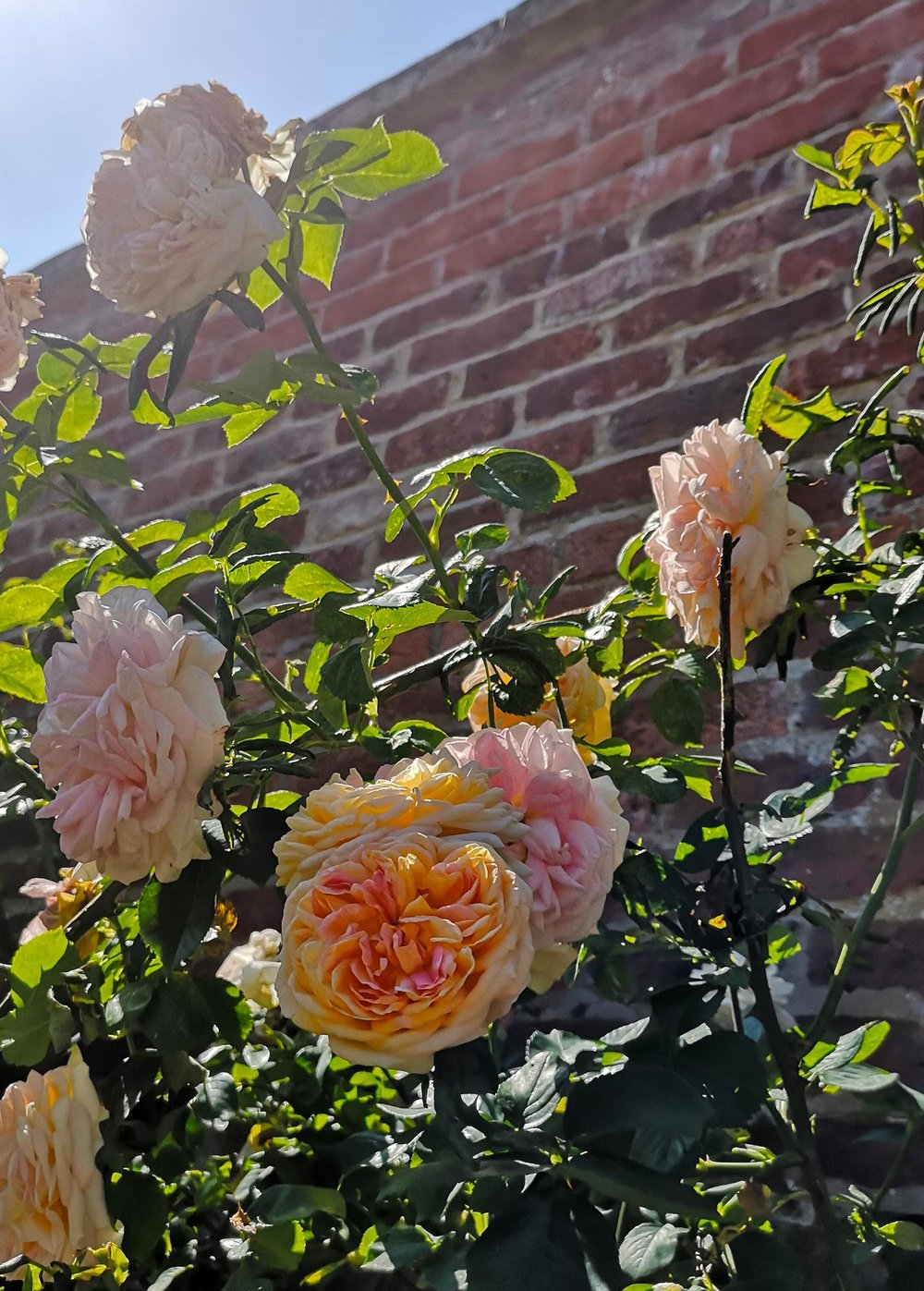 Abbotsford gardens peach roses and wall#.jpg