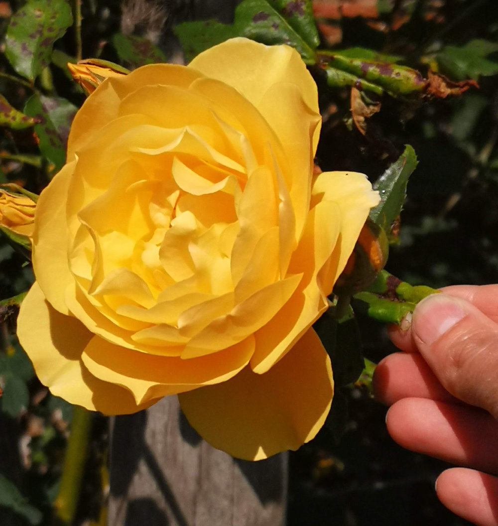 Abbotsford gardens yellow rose.jpg