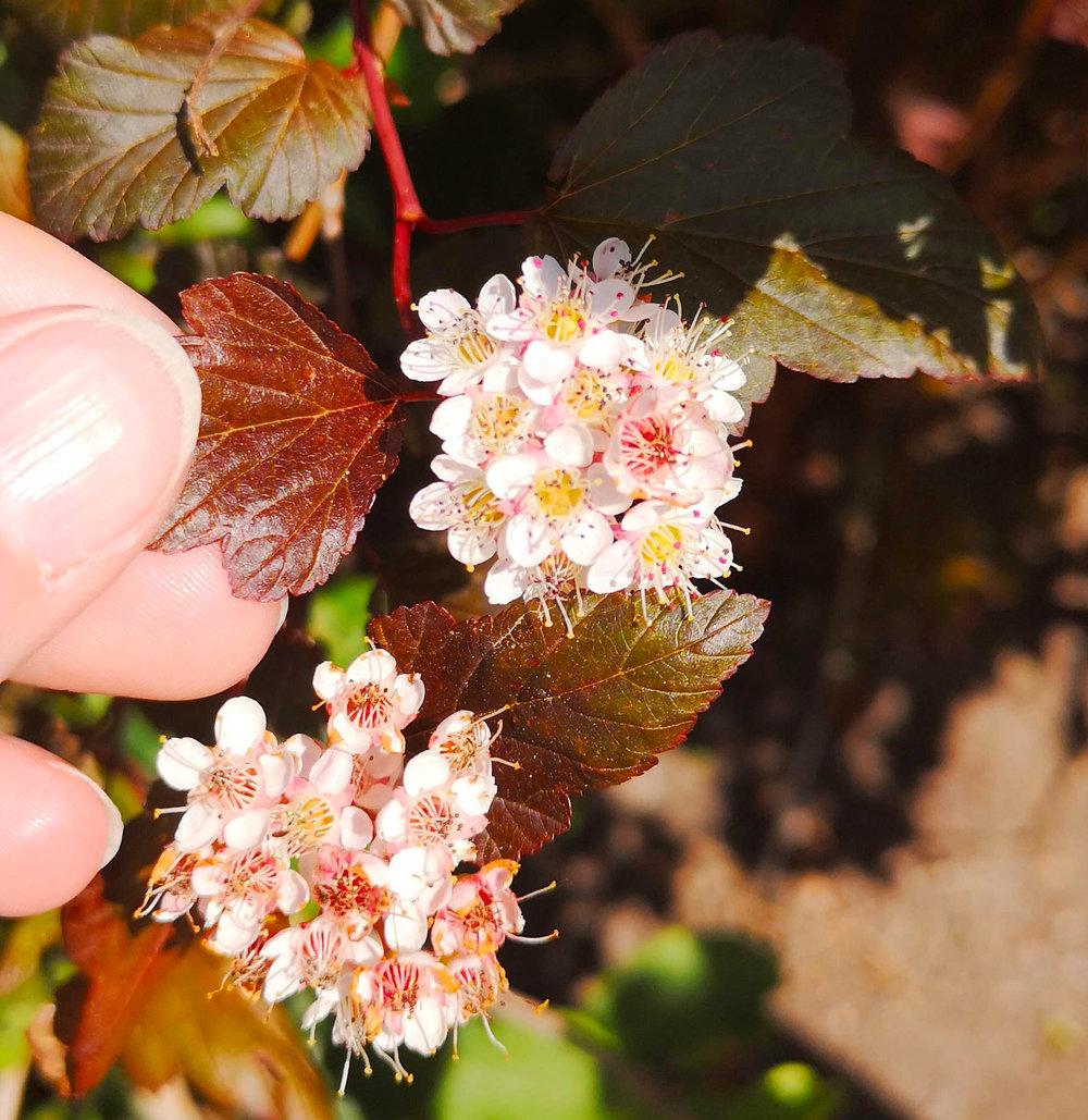 Abbotsford gardens pale flower.jpg