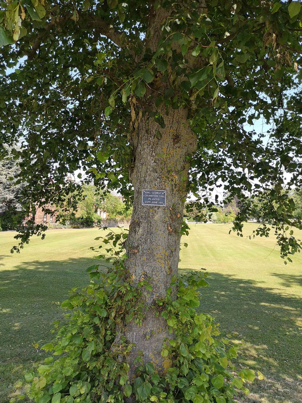 Tree planted on the village green planted for George V's coronation, June 22 1911