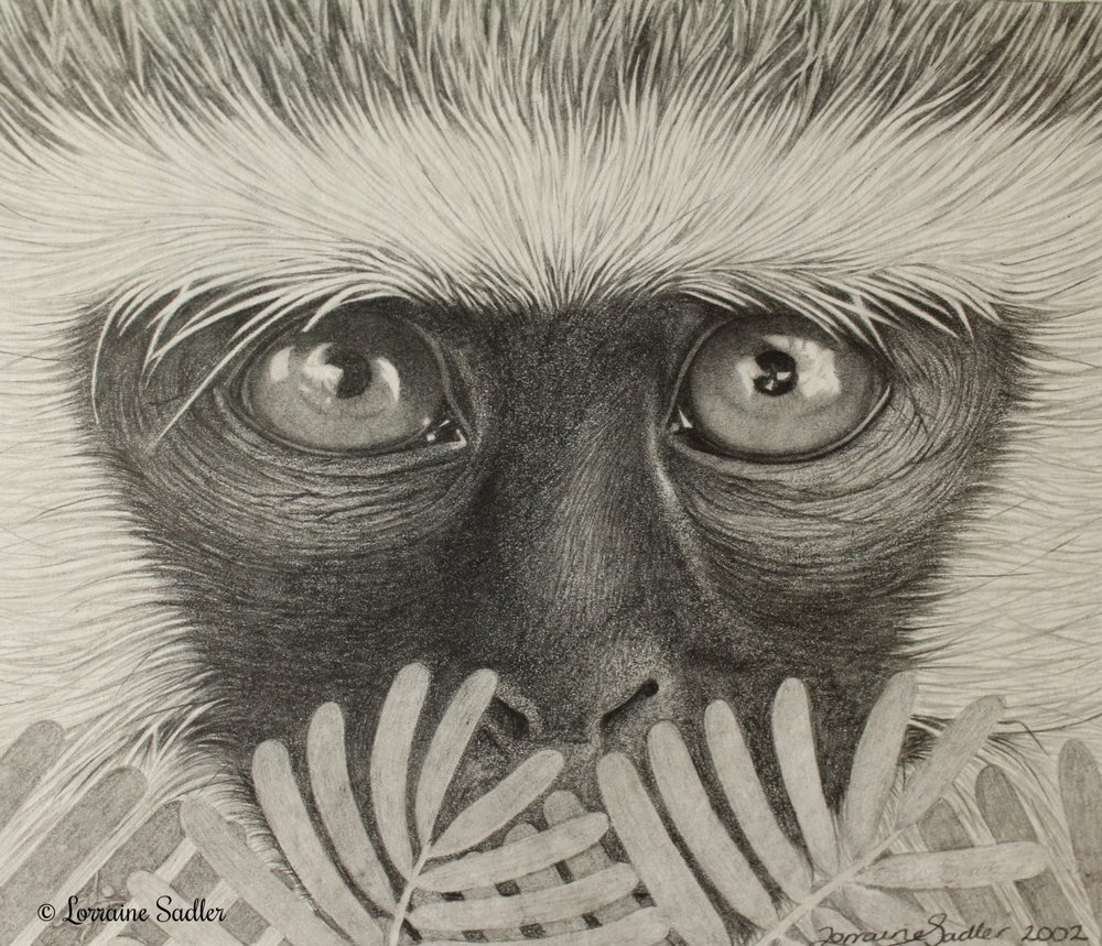 Vervet Monkey Study (5.5 x 4.5 inches) £330
