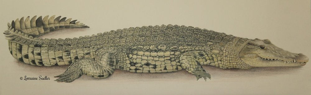 Nile Crocodile (23.5 x 8 inches) £2,250