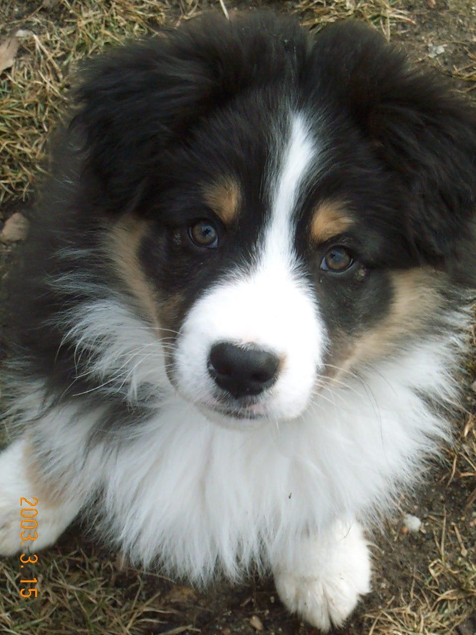 aussie puppy 028.jpg