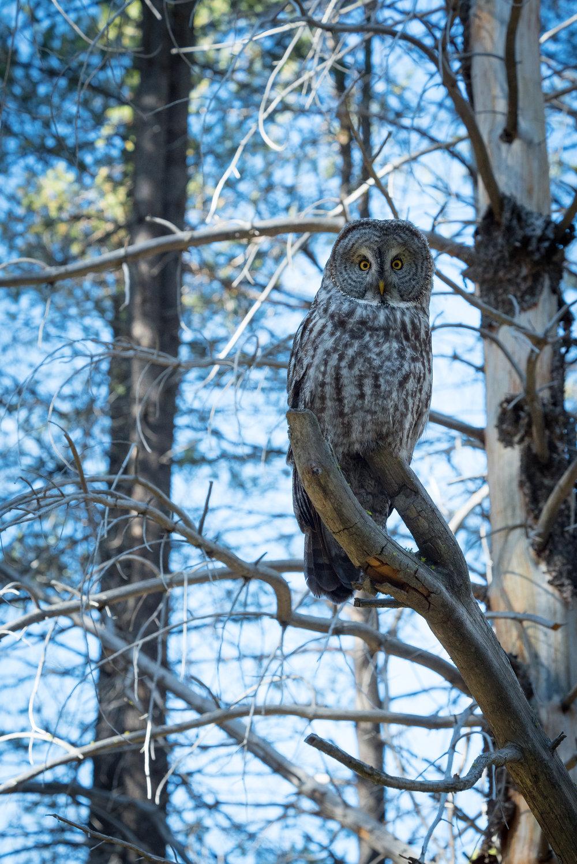 OWL-YOSEMITE.jpg