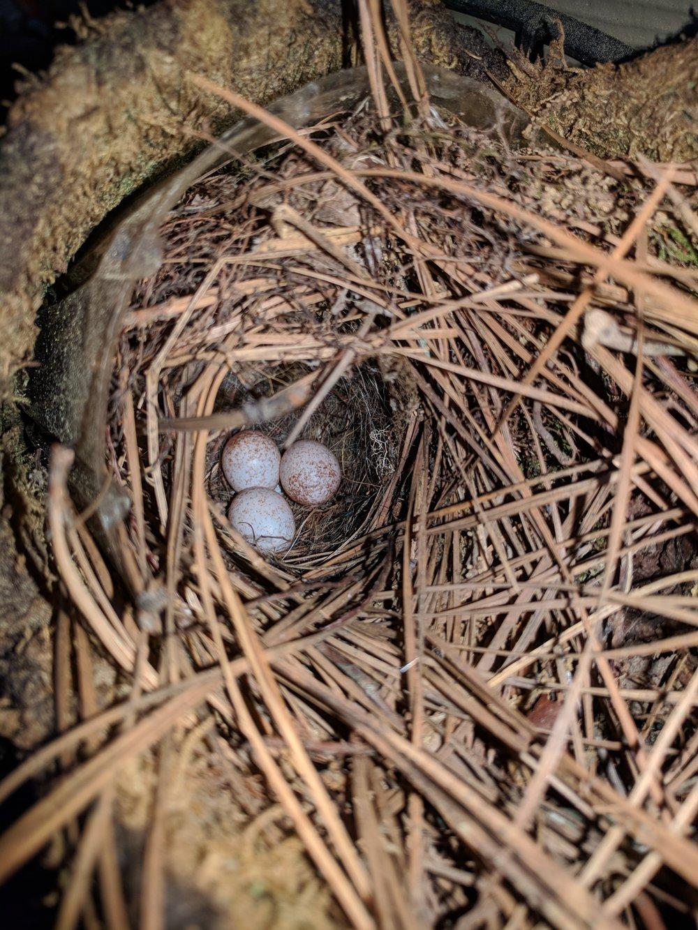 Bird Eggs.jpg