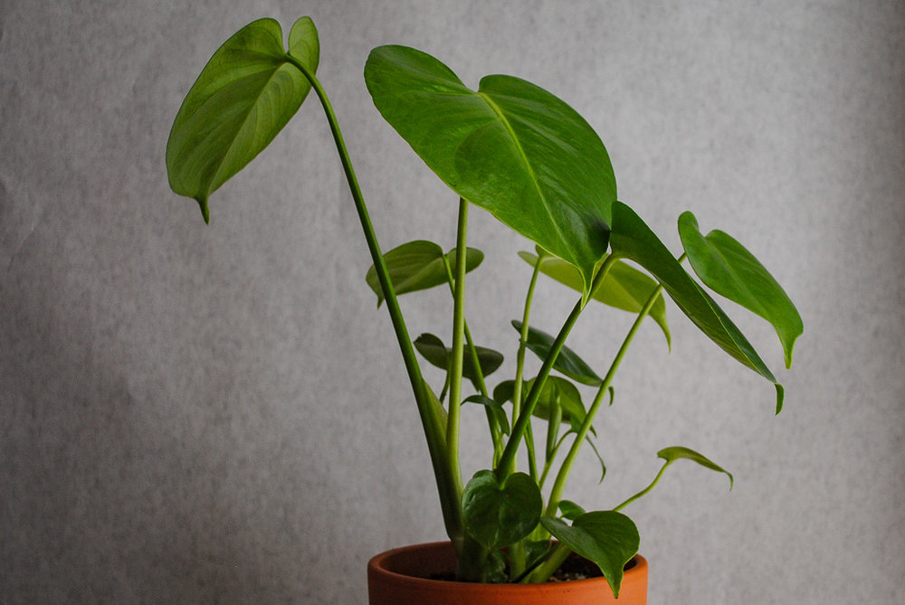 Above photos are of the M. deliciosa 2 months after purchase.