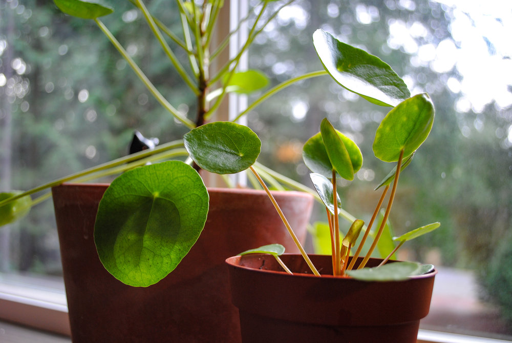 Our original P. peperomioides with that initial pup we bought four months prior.