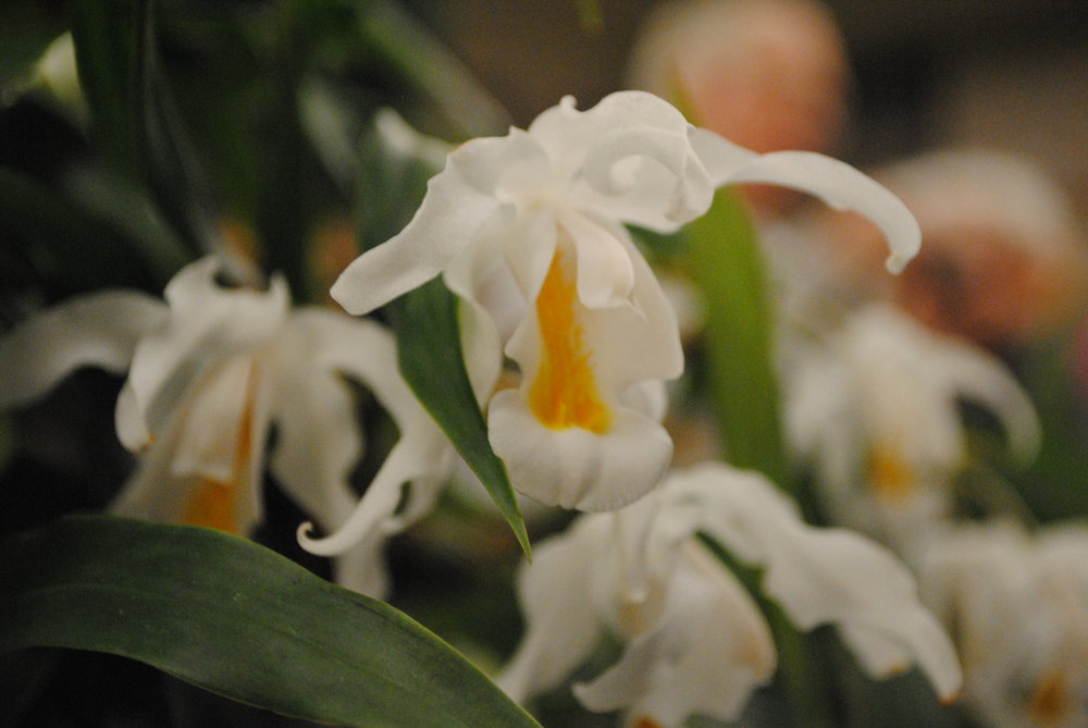 A Coelogyne Cristata one of our members has had since he was 13 years old! This plant was huge! (It has been larger!) The blooms were so fragrant!
