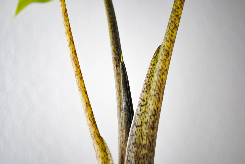 Detail of the lovely pattern on the petioles.