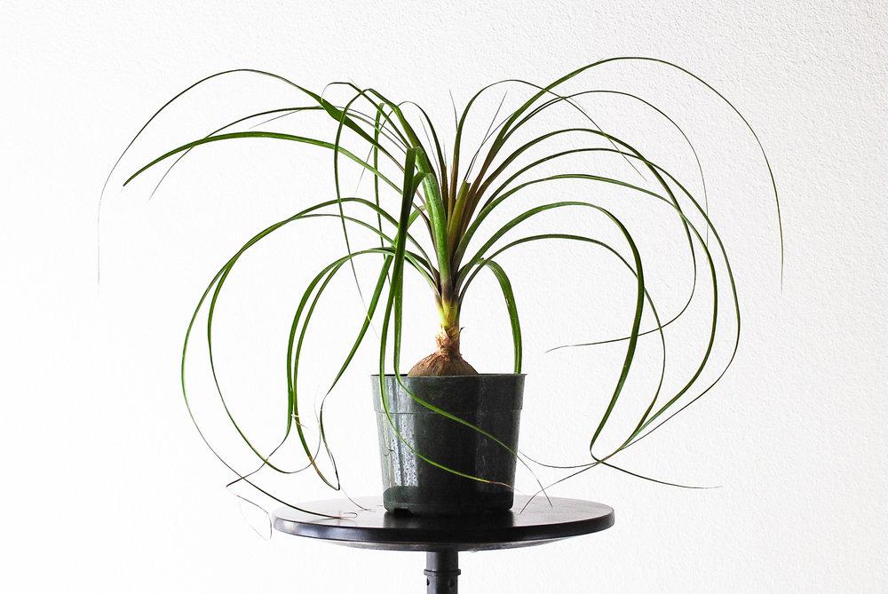 Beaucarnea recurvata or 'Ponytail Palm'.