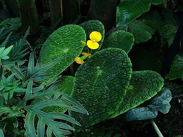 This begonia bloom was too wholesome for my existence. That finger fern is ♨️ too. #cultivatepropagate #welikeplants #friendsinfoliage #smallbusiness #seattle #downtown #seattlephotographer #pnw #pnwonderland #queenanne #lowerqueenanne #plantshop #plantstore #womanowned #minimalism #maximalism #design #houseplants #thespheres #plants #aroidaddicts #houseplants #rareplants #begonia