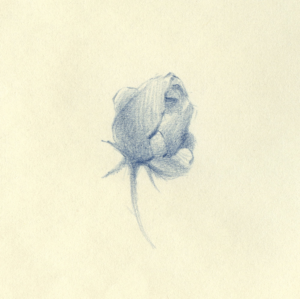 Flower illustration by Laura Dreyer, drawn in pencil.