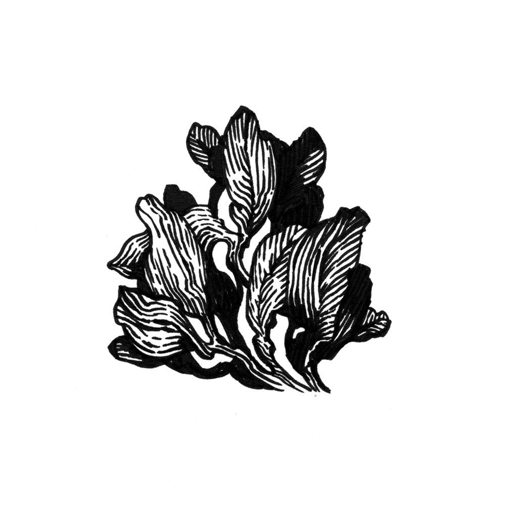Botanical illustration by Laura Dreyer, drawn in ink.