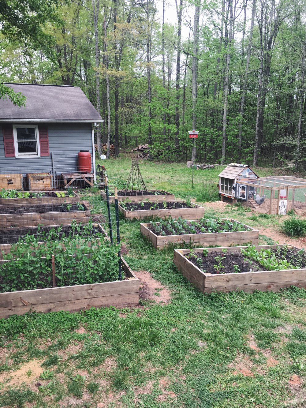 Here we keep our chickens in their run while the new plants establish themselves.