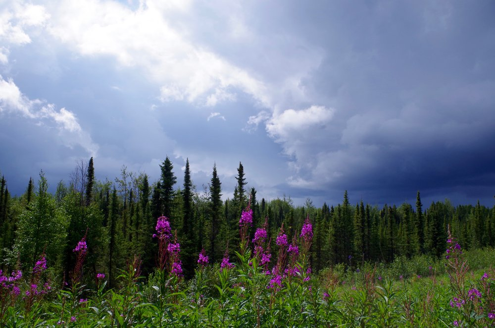 Fireweed and black spruce. (Photo Credit: Trina Moyles)
