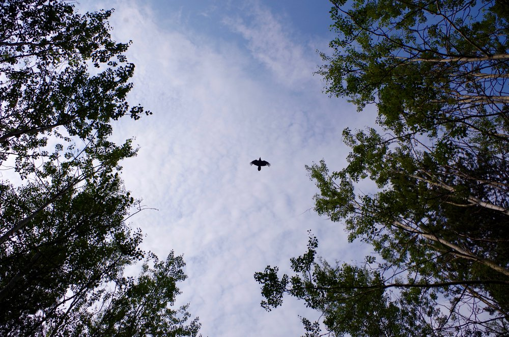 Lone raven in the woods. (Photo Credit: Trina Moyles)