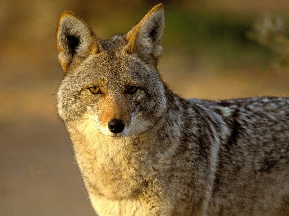The Coyote Off Grid Writing