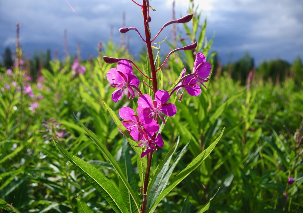 Fireweed in the northern boreal. (Photo - Trina Moyles)