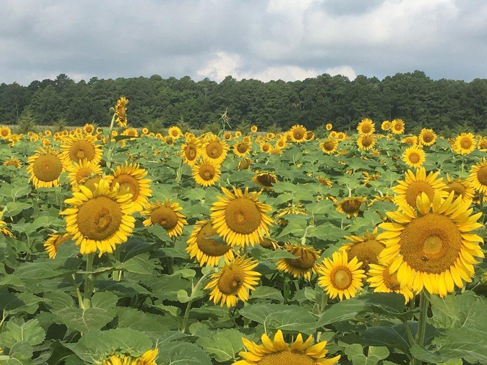 Sunflower Field, Debra Huse.jpg