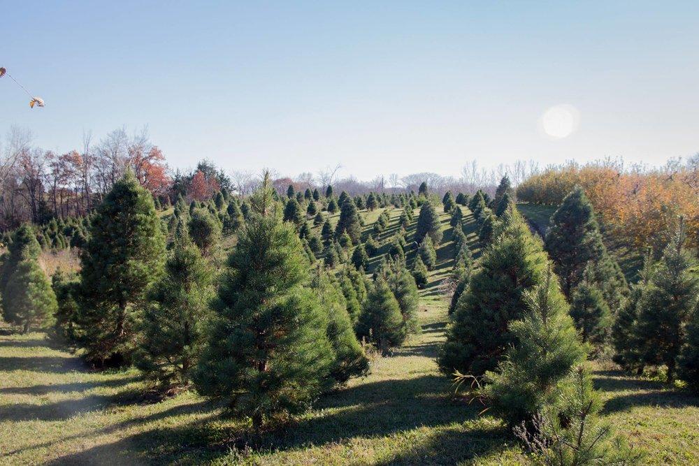 deals christmas tree farm.jpg